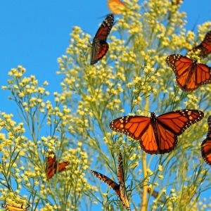 Monarch Migration 2013